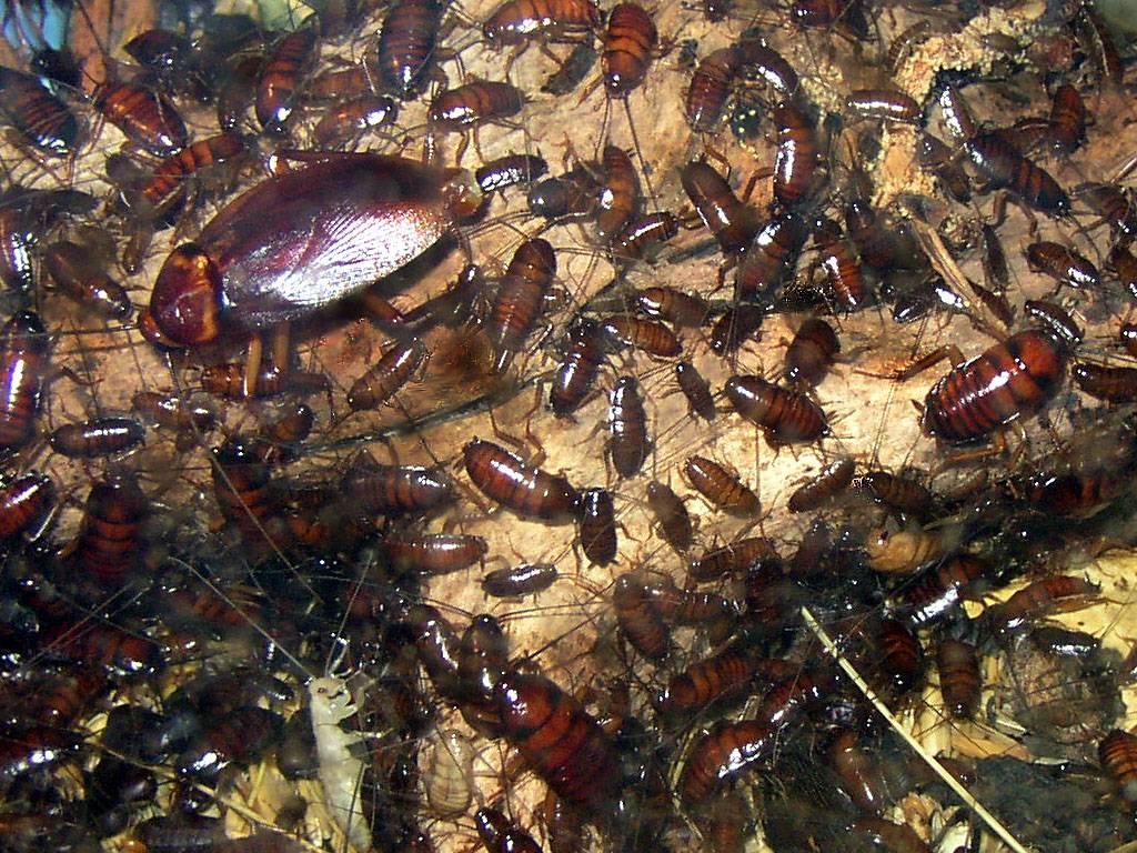 Как да предотвратим развитието на голяма популация хлебарки